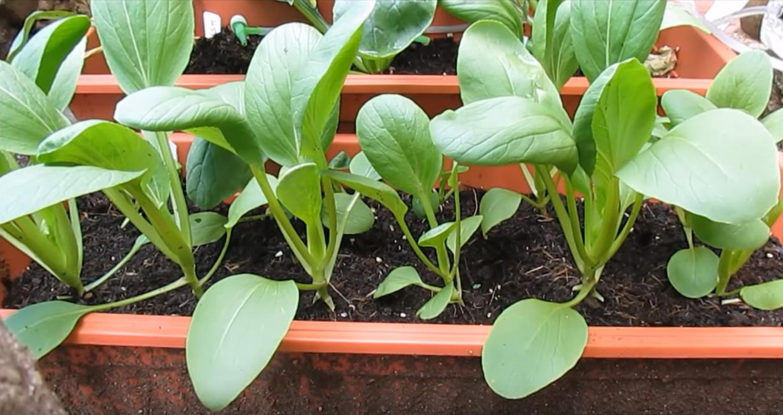 小白菜 - 室内蔬菜