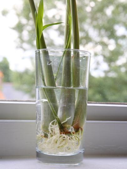 柠檬草 - 室内蔬菜