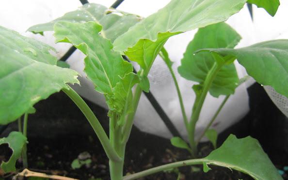 芥蓝 - 室内蔬菜